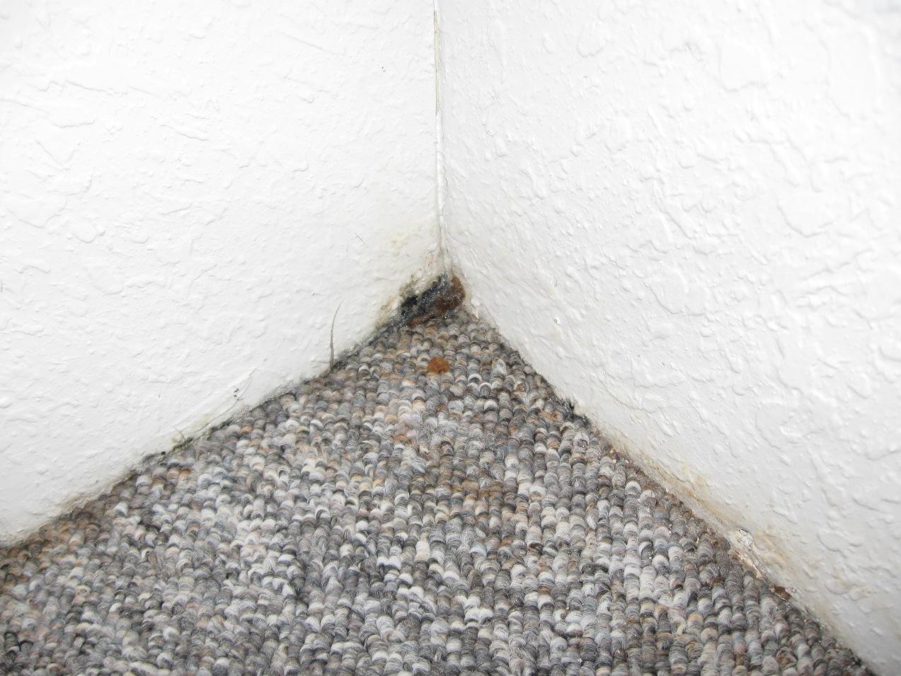 Mold corner carpet and wall